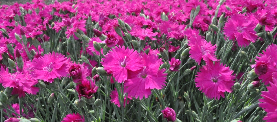 pink flowers for web
