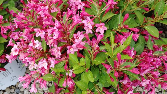 3 Gal PW Shrub Weigela Sonic Bloom Pink