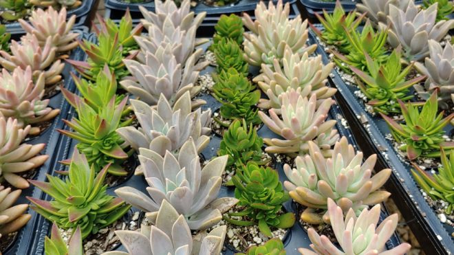 """2"""" Assorted Succulent Tray"""