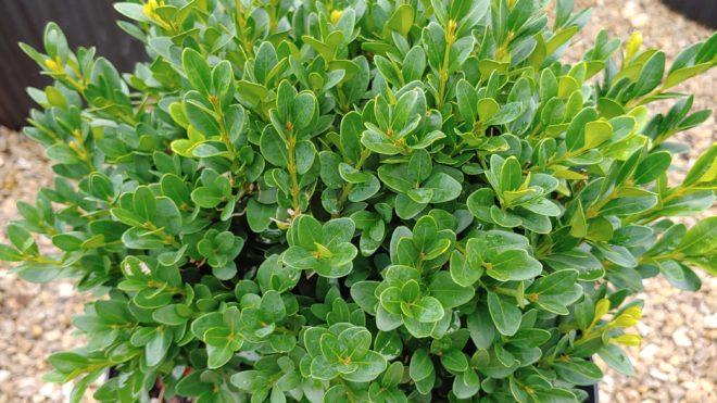 3 Gal Buxus Green Velvet