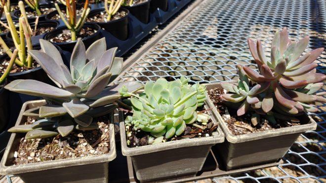 Succulent Trio Tray