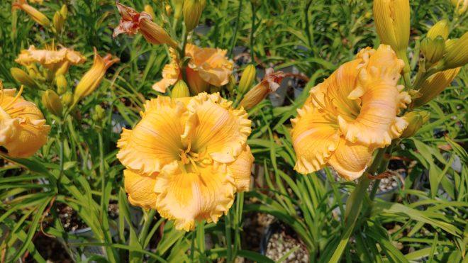 IMPACT PW Hemerocallis Rainbow Rhythm Orange Smoothie
