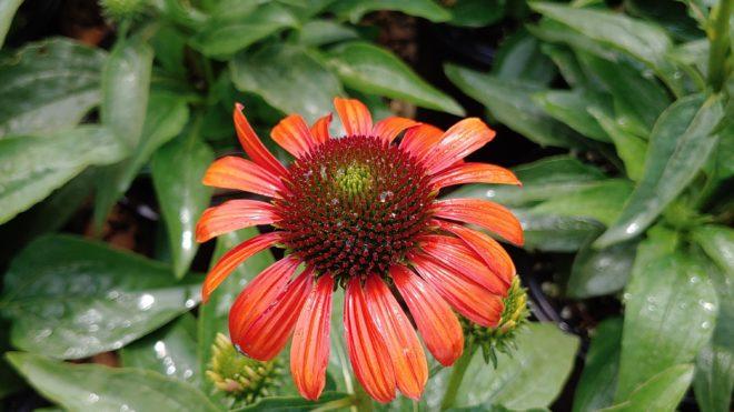 IMPACT Echinacea Julia
