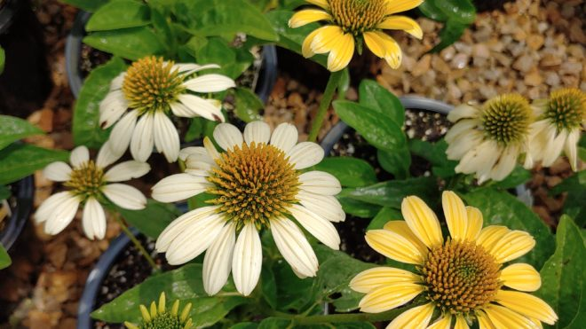 IMPACT Echinacea Mellow Yellows