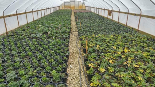 Tips for Overwintering Perennials