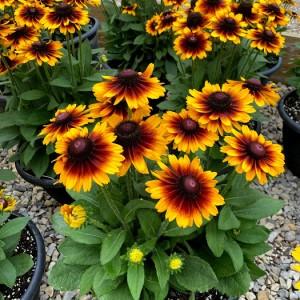 "12"" Decorative Planter Various Late Summer Annuals"